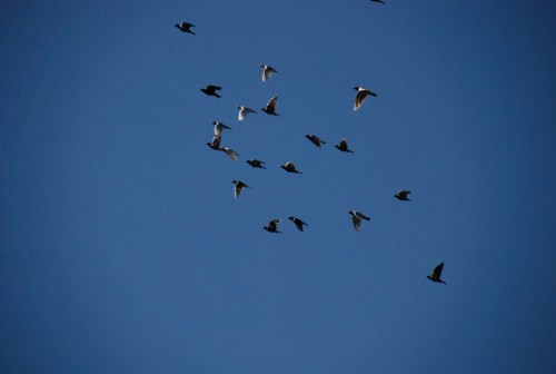 Homing_pigeons-2