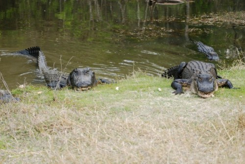 Alligator-14