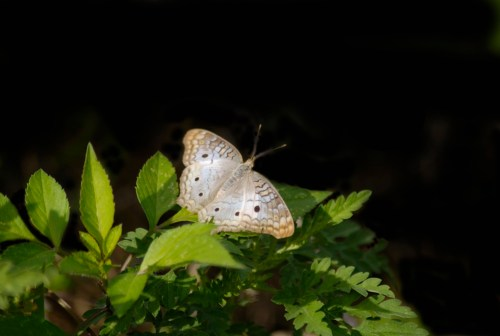 White_butterfly