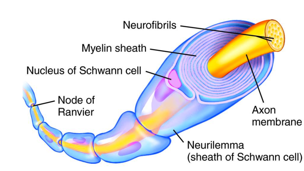 medium resolution of diagram of nerve fiber