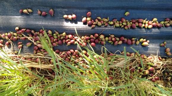 nectarines fallen