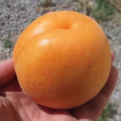 robada apricot - ugly fruit