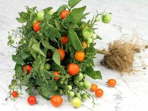 Minibel Heirloom Tomato   The Coeur d'Alene Coop