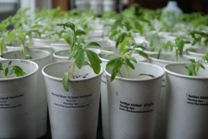 Growing Heirlooms in Paper Cups | The Coeur d'Alene Coop