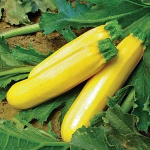 Golden Zucchini | The Coeur d Alene Coop