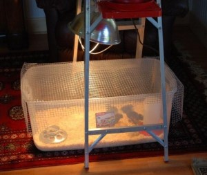 Chick Brooder using a clear plastic bin | The Coeur d'Alene Coop