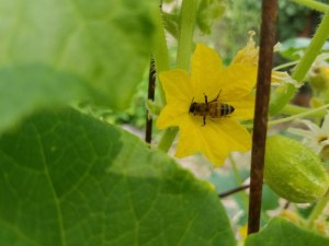 Bee pollinating cucumber plant | The Coeur d'Alene Coop