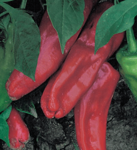 Marconi Pepper | The Coeur d Alene Coop