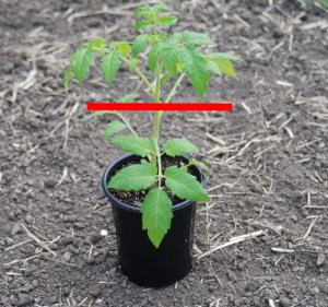 How deep to plant the tomato   The Coeur d Alene Coop
