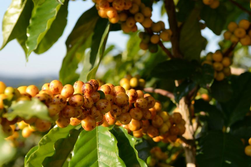 coffee bean shrub
