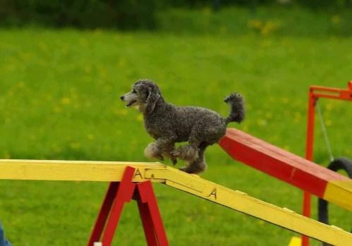 poodle agility course