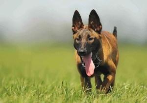 Belgian shepherd dogs malinois