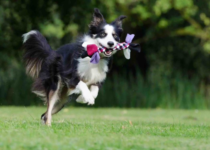 border collie running with toy in mouth during dog training the positive reinforcement