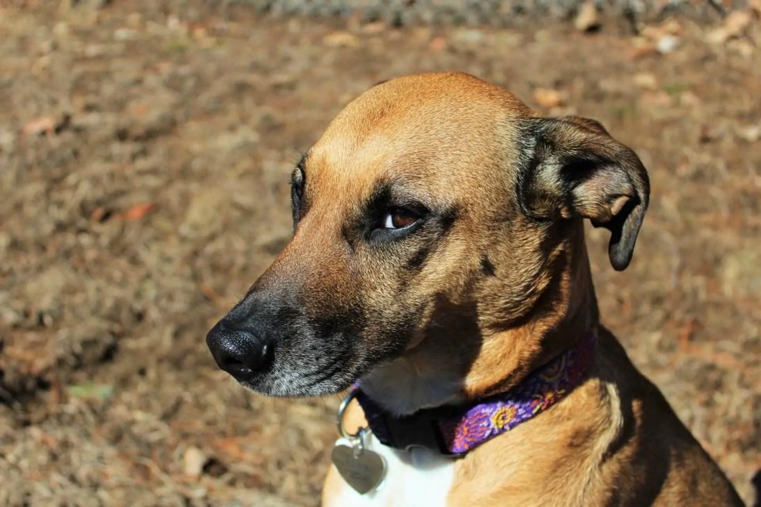 sad brown dog lookin to the camera