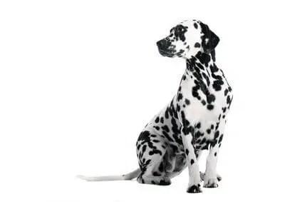 dog vision how dogs seecHund Dalmatiner sitzend