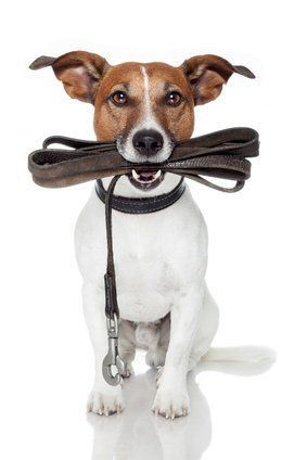 jack russel dog with the leash in the mouth