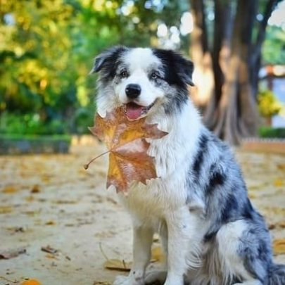 border collies blue merle