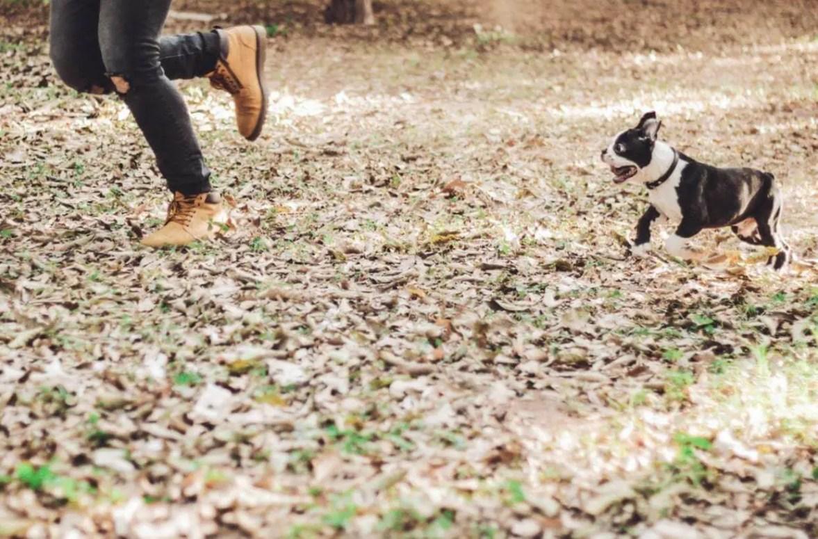 albulldog francese corre nel parco con padrone