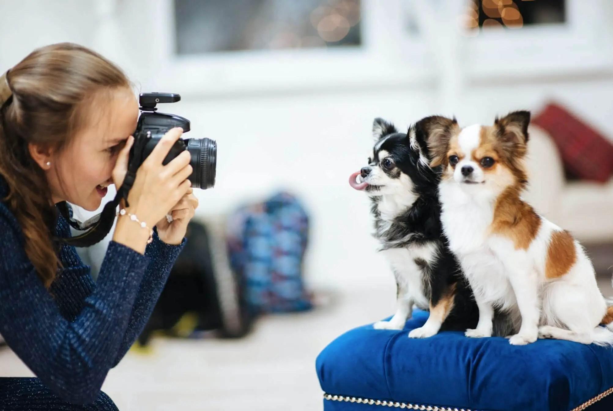 pet photographer shooting 2 dogs chihuahua