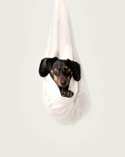 sweet basset hound photo with white background