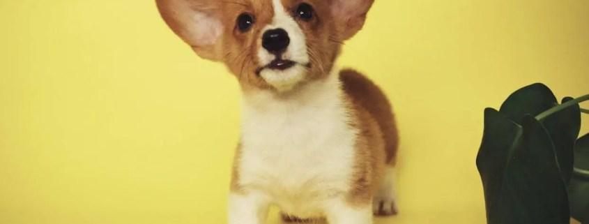 corgi puppy keep your dog busy indoor