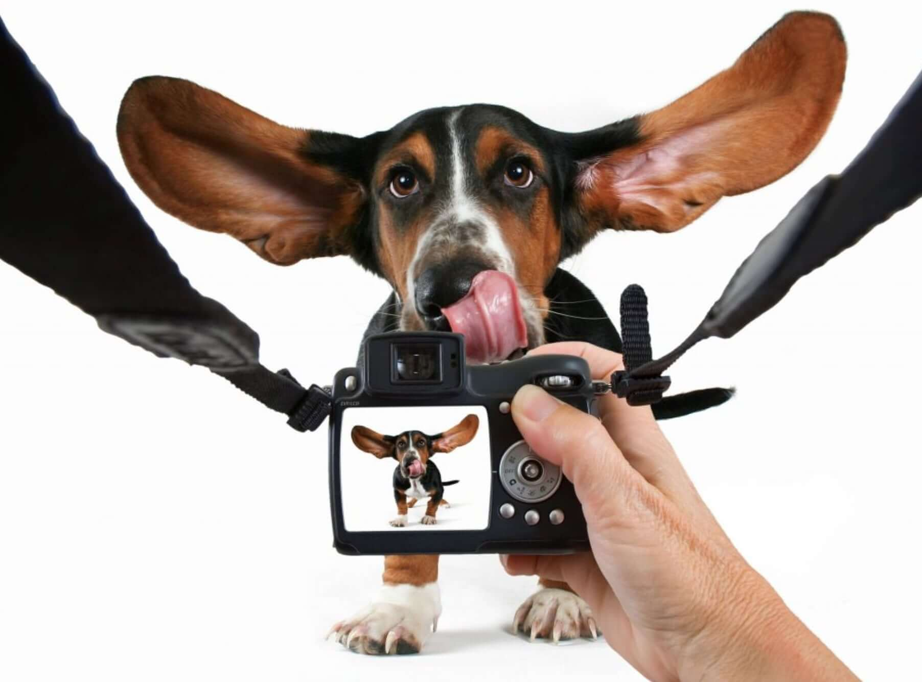 funny dog with sweet ears in the air pose for the camera