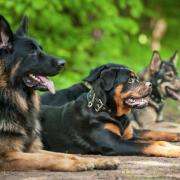 german shepherd rottweiler