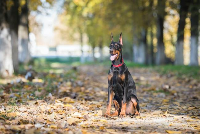 Keep your dog busy indoor with Obedience Training dobermann sit