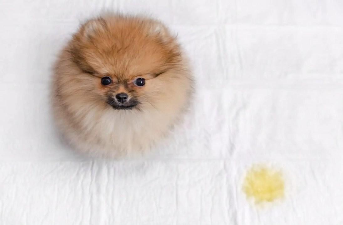 educare e Insegnare al cucciolo di cane a fare pipi e bisogni fuori 10