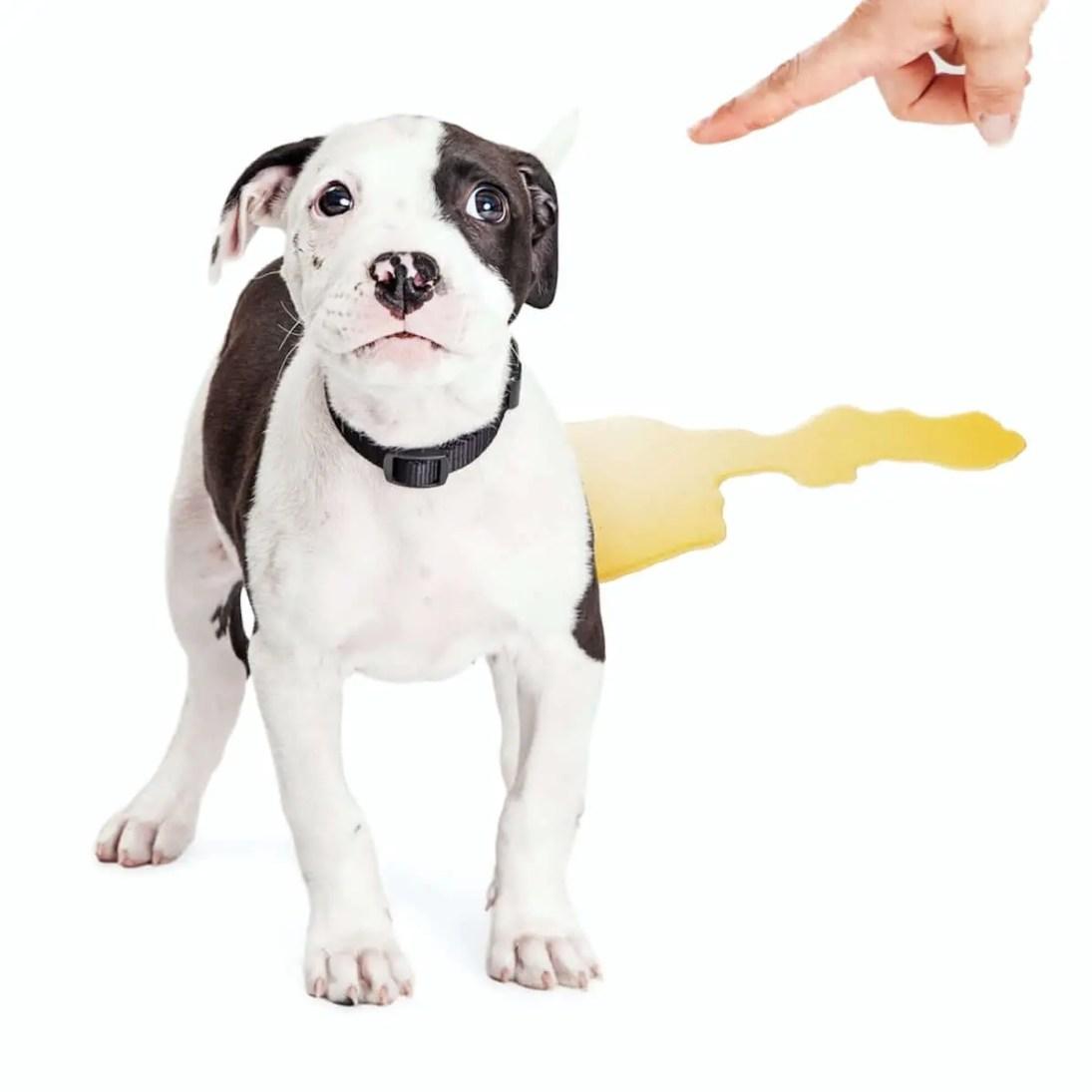 educare e Insegnare al cucciolo di cane a fare pipi e bisogni fuori repellente per cani naturale e fai da te 2