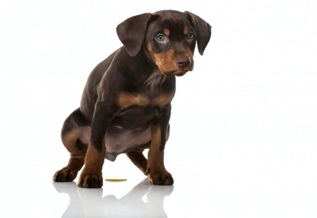educare e Insegnare al cucciolo di cane a fare pipi e bisogni fuori 4