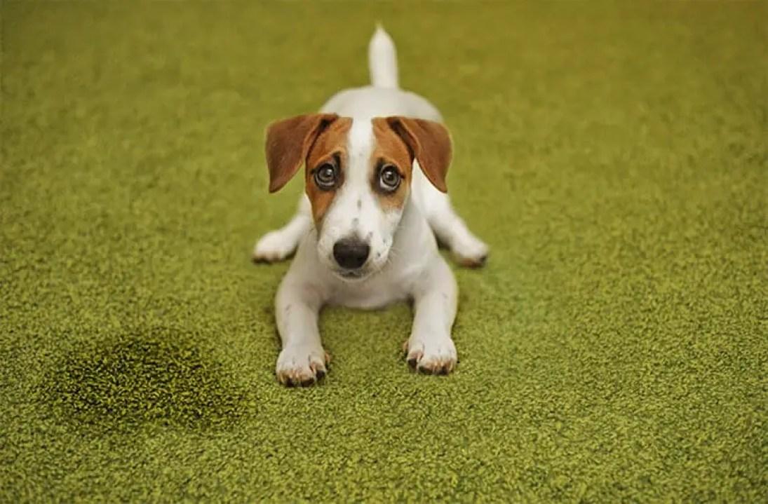 educare e Insegnare al cucciolo di cane a fare pipi e bisogni fuori 5