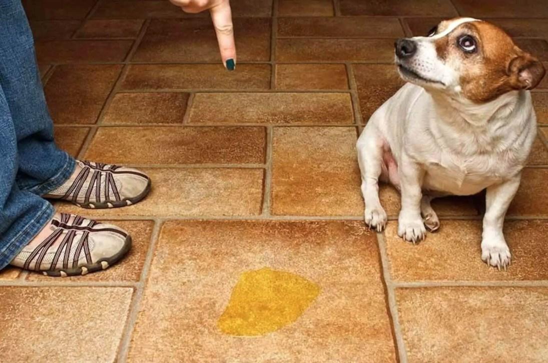 educare e Insegnare al cucciolo di cane a fare pipi e bisogni fuori 8 repellente per cani naturale e fai da te