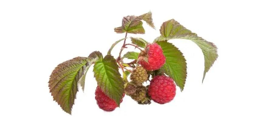 lamponi ai cani - frutta ai cani - quale frutta possono mangiare i cani (8)