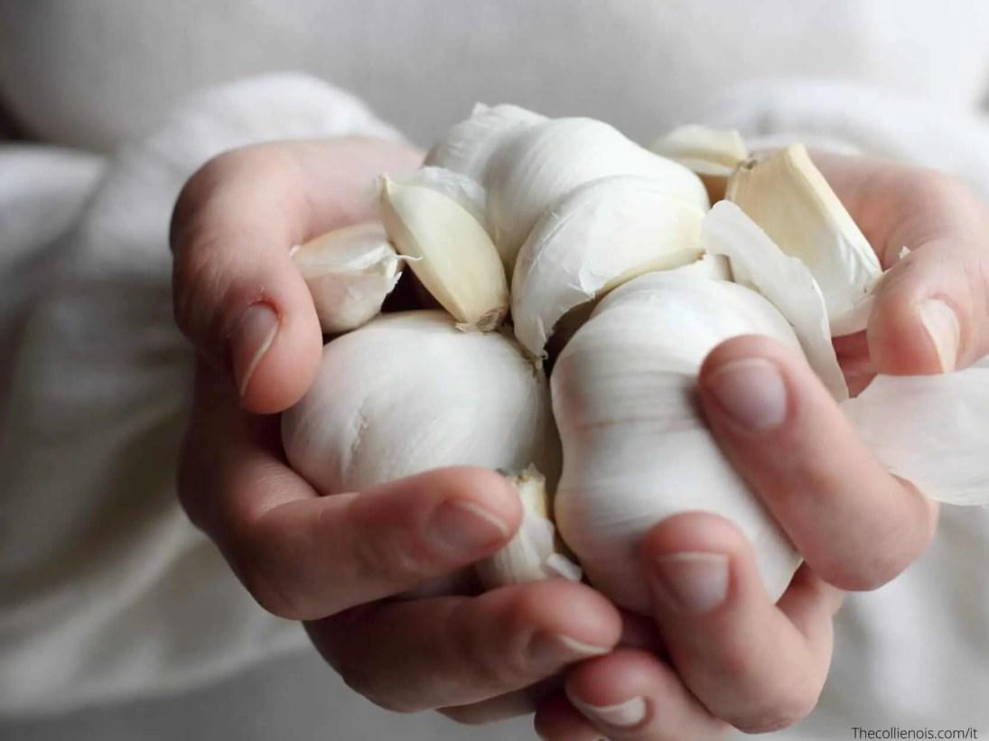 Si può dare l'aglio ai cani - l'aglio è tossico per la salute del cane - i cani possono mangiare l'aglio 4