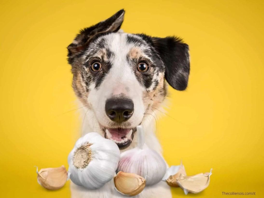 Si può dare l'aglio ai cani - l'aglio è tossico per la salute del cane - i cani possono mangiare l'aglio 9