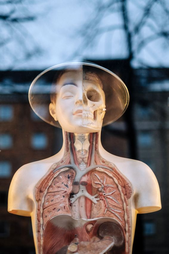 Plastic figure of human exposing lungs, skull, and respiratory system