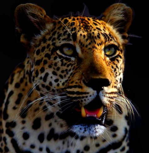 animals,leopard, eyes, mouth tongue, face, the common vein, Ashley Davidoff MD