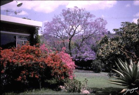 garden, home, South Africa, The Common Vein, Ashley Davidoff MD, jacaranda