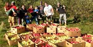 Gleaning Apples At Maple Lane Farm