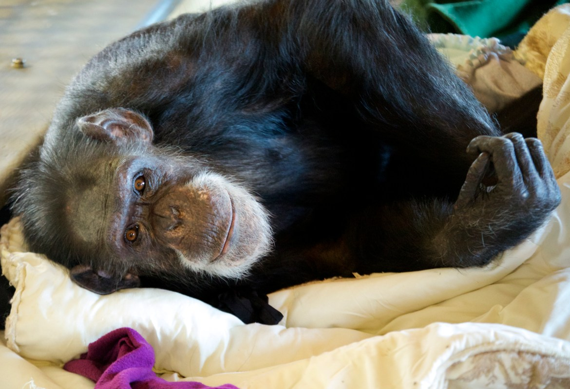 Tatu is a chimp at Fauna who knows sign language. Photo by NJ Wight of Fauna.