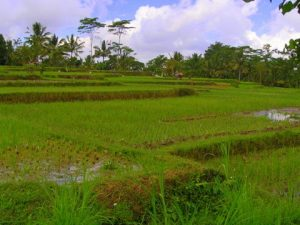 A rice field in central Bali
