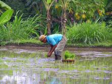 Working in a rice field, central Bali
