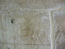 Relief showing calving, tomb of the two brothers, Saqqarah