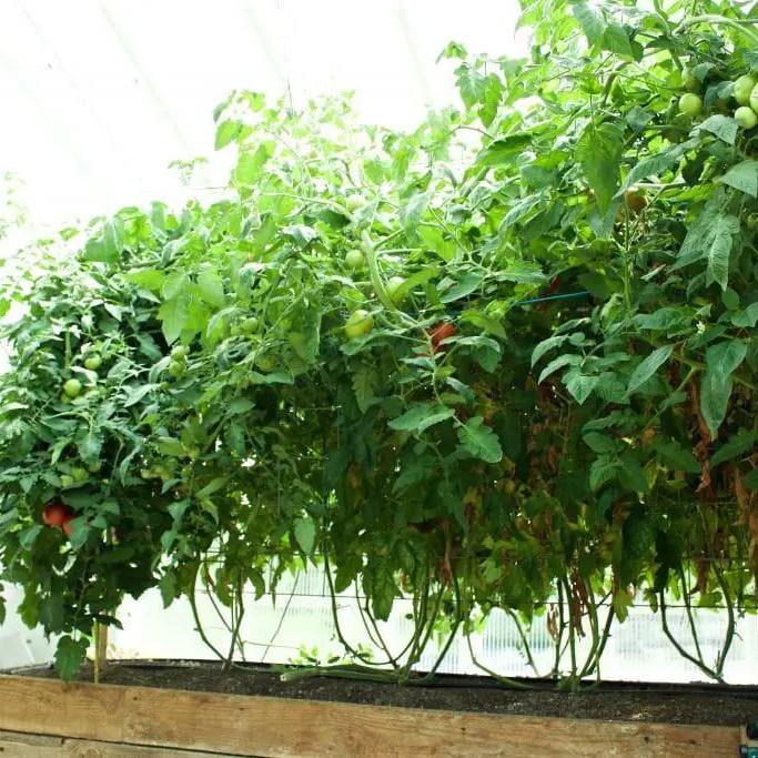 Tomato's on a trellis