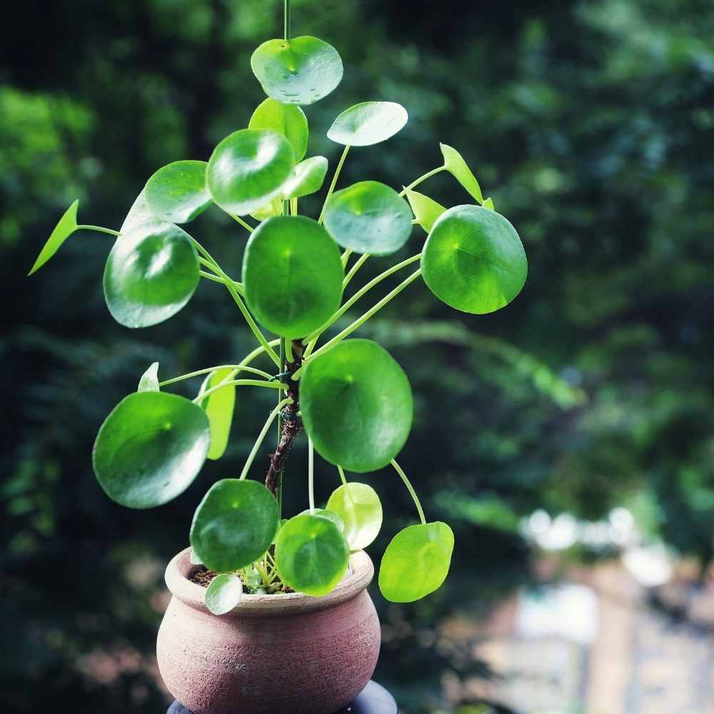 chinese money plant-peperomia
