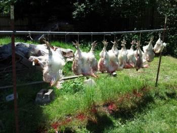 Backlash On Backyard Chickens The Contrary Farmer