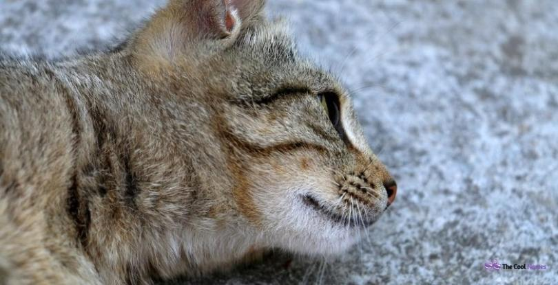Tabby Cat Names Male