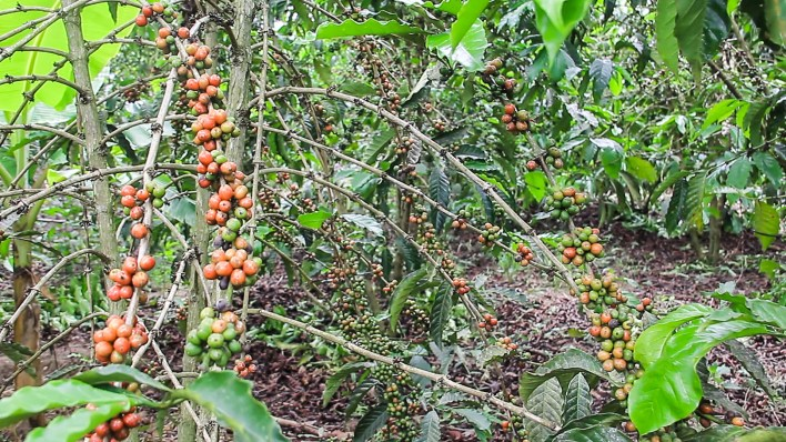 A coffee shrub with wipe and raw cherries