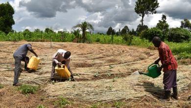 Hoima Coffee Farmers struggle to survive the dry season